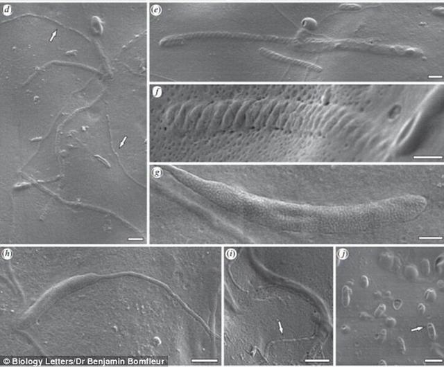 科学家对5000万年前远古虫茧化石扫描发现其中包含着世界上最古老的精子化石