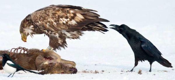 乌鸦酷爱啄其它动物的尾部然后迅速逃跑