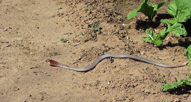 蛇吞蛇:赞比亚国家公园一条藤蛇试图吞食一条非洲树蛇