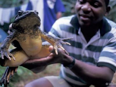 世界上最大的青蛙——非洲巨蛙(Conraua goliath)