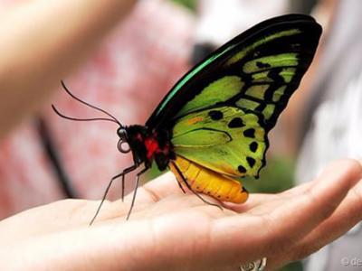 巴布亚新几内亚的巨型蝴蝶——亚历山大鸟翼凤蝶(Ornithoptera alexandrae)