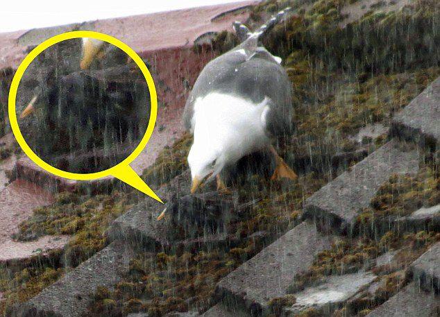 英国海鸥吞食燕八哥