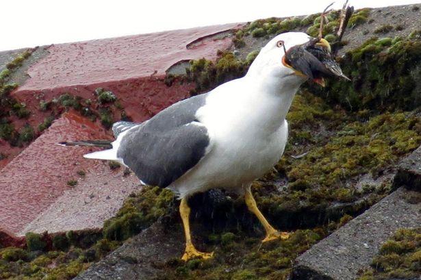海鸥在屋顶突袭八哥