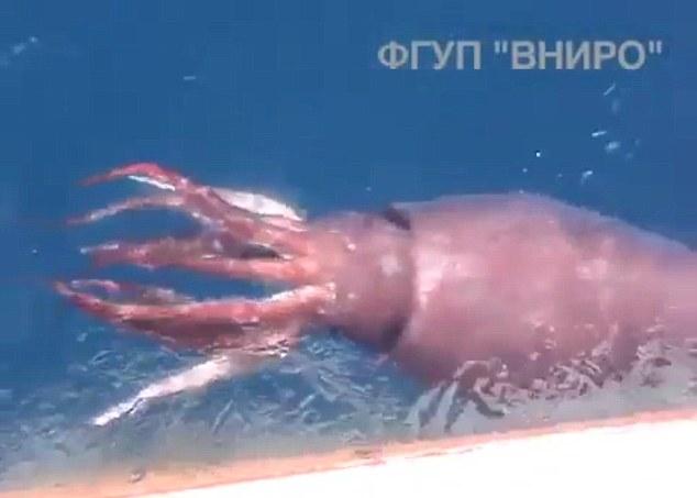 乌贼在水面徘徊,巨型驱干清晰可见。