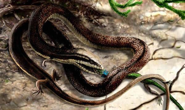 四脚蛇是进化的一个重要发现。