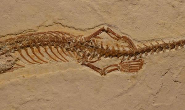 这个化石或可以帮助解释蛇是失去脚的。