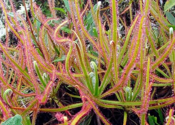 德国专家凭在facebook看到的这张照片,发现新品种植物drosera magnifica。