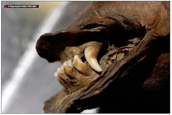 1.24万年木乃伊狗内脏完好 胃里发现树枝