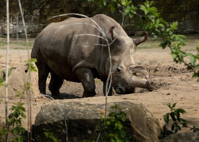 纳比尔(图)因囊肿破裂感染而死,令现存的白北犀只剩下4只。