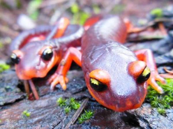 Ensatina蝾螈(Ensatina eschscholtzii)是美国西海岸一带常见的无肺蝾螈,它是北美数百种受到某种新出现的感染性病原体威胁的地方性蝾螈物