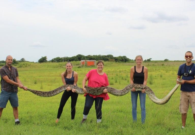 美国佛州捕获5.5米巨蟒