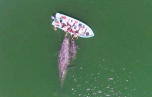 墨西哥海域灰鲸母子亲近游船任游客抚摸