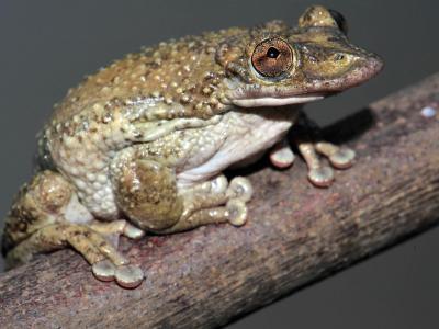 """巴西生物学家忍痛发现世界上第一只会""""注射""""毒液的毒蛙"""