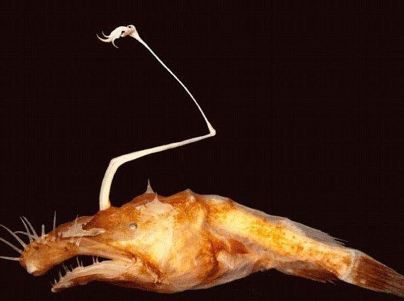 图中为鮟鱇鱼新物种,因为头顶长有标志性的附属肢体。