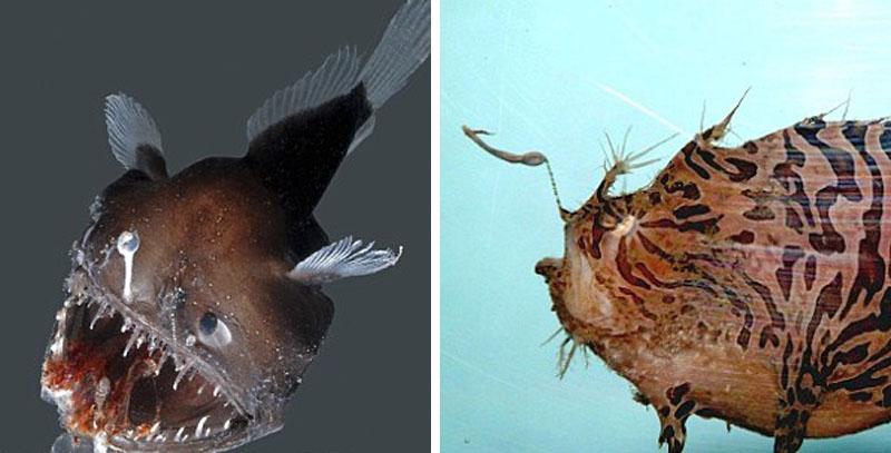鮟鱇鱼生活在深海中,那里水压巨大,阳光完全被阻隔。