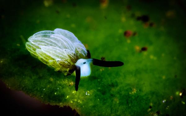 印尼巴里岛附近拍摄到海蛞蝓(Costasiella)