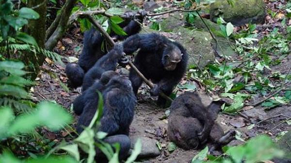 黑猩猩们进行猛烈的攻击