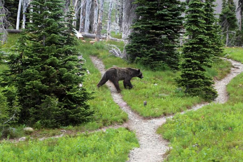 蒙大拿州时有灰熊出现。图为去年一只灰熊出现在蒙大拿州冰川国家公园营地。