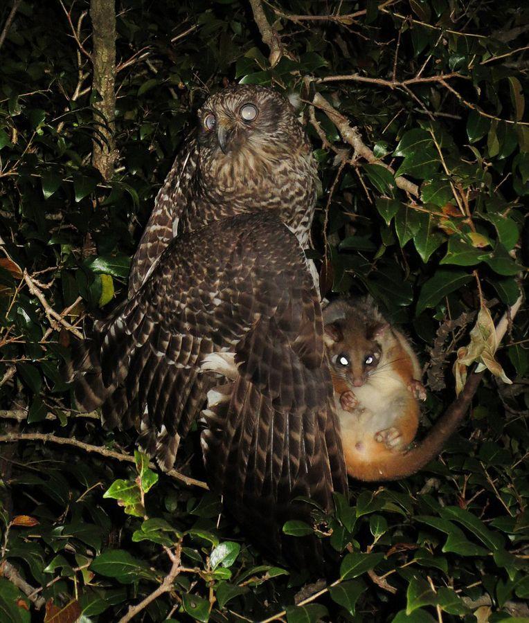 澳大利亚灰色猫头鹰俯冲捕食负鼠的精彩瞬间