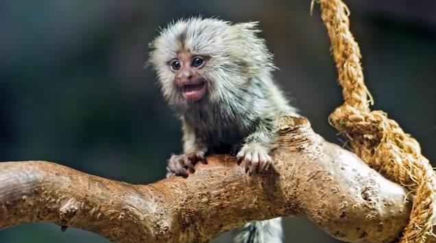 """绒猴宝宝似乎也会认真地听父母""""说话"""""""