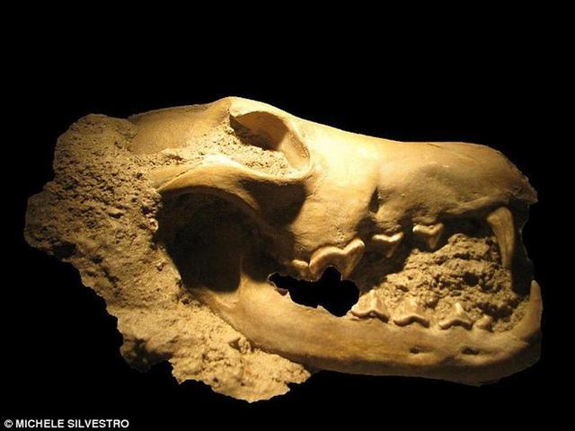 科学家最新研究显示,1850万年前猫科动物进入现今北美洲境内,导致当时的40多种犬科动物灭绝。