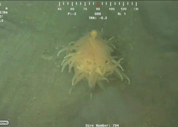 """钻油台在深海4000呎拍下""""意粉兽""""。"""