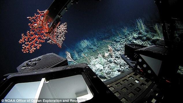 """""""深海发现""""号还有采集洋底样本的任务。本图显示,在2078米的洋底,""""深海发现""""号将一种疑似珊瑚新物种样本采集到样本盒中。"""