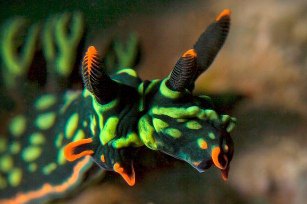 马来西亚东部卡帕莱岛附近水域中发现世界上首只双头双性的彩色海蛞蝓