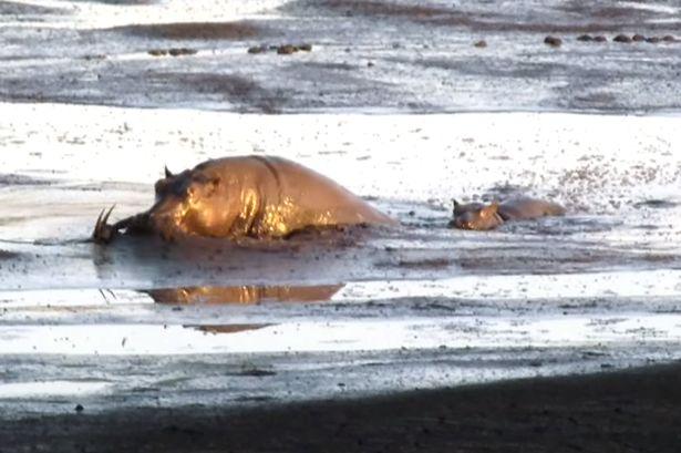 南非克鲁格国家公园饥饿母狮将黑斑羚追赶到泥塘中被河马坐收渔翁之利