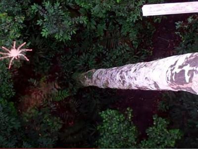 """南美丛林里发现能够""""飞""""的蜘蛛"""