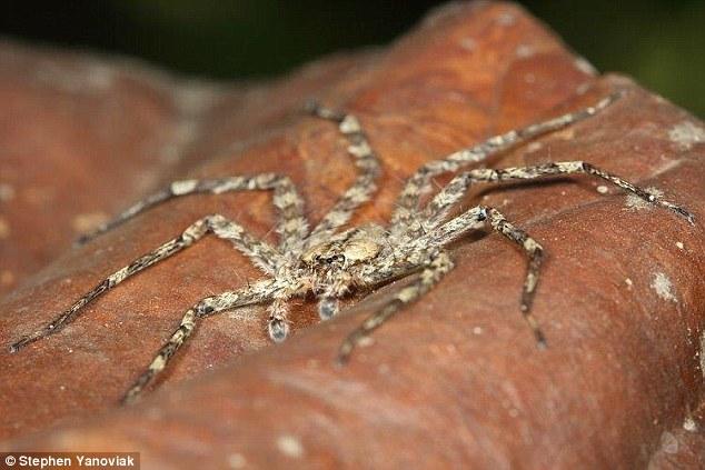 这些蜘蛛的视力有多敏锐?它们如何定位一棵树?