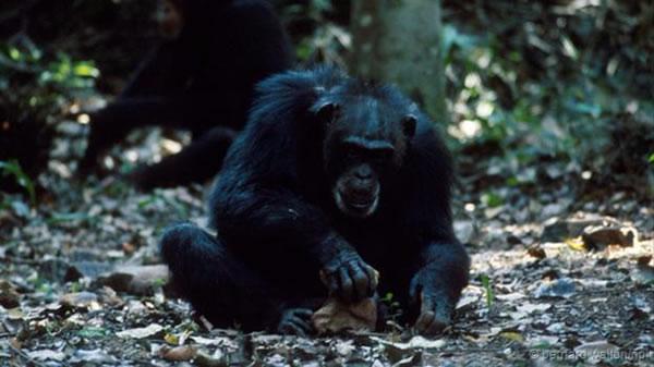 黑猩猩使用石头作为工具已经几千年的历史
