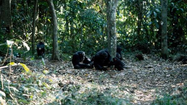 一群黑猩猩正在用石头敲打坚果