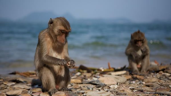 一只食蟹猕猴正在用石头敲碎鸟蛤