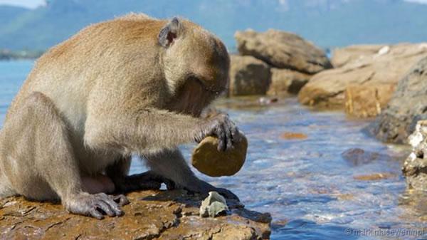 生活在泰国岛屿上的食蟹猕猴
