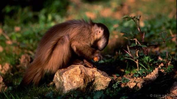 南美洲的卷尾猴已经学会了怎么使用石头工具