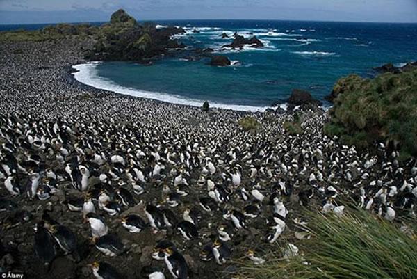 """400万企鹅大军""""攻占""""澳洲麦夸里岛"""