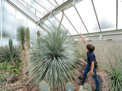 英国皇家植物园龙舌兰的花穗一夜间长高46厘米