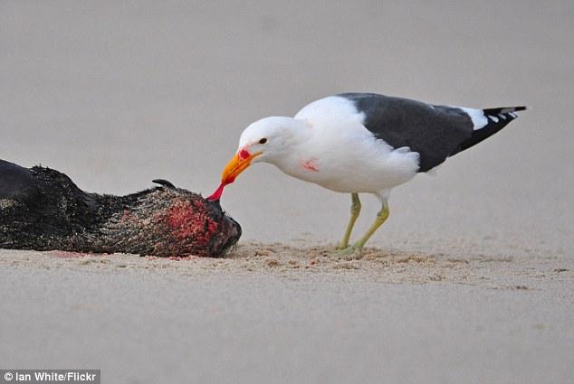 非洲黑背鸥会啄瞎小海豹眼睛 再集体啄烂生殖器分食
