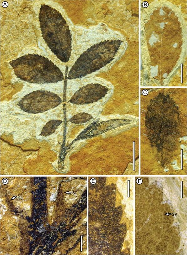 图1 蔷薇属(Rosa)叶化石