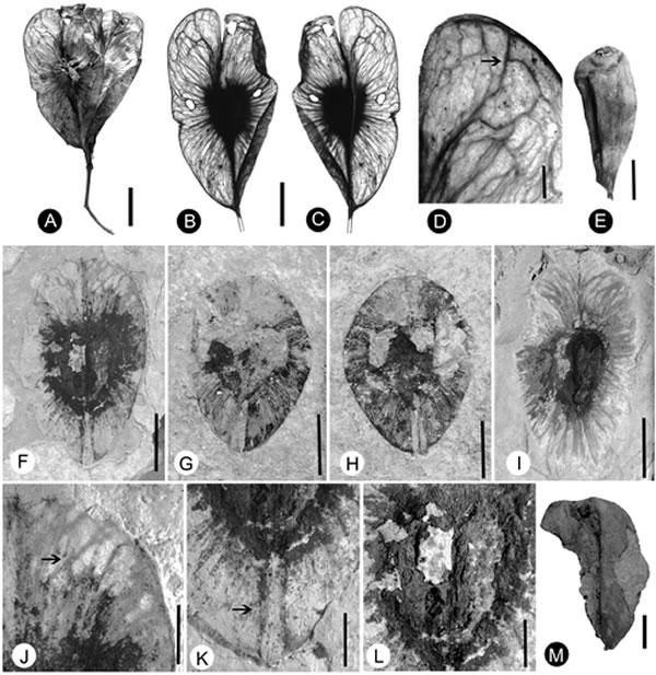 图2 柄翅果属(Burretiodendron)现代及化石果实