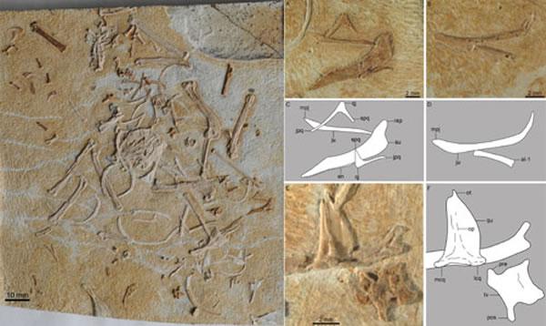 大平房翼鸟正型及部分头骨骨骼 (王敏供图)