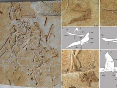 早白垩世一反鸟类新属种——大平房翼鸟(Pterygornis dapingfangensis)
