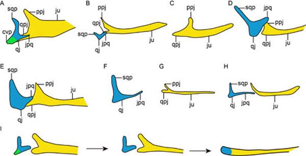 方颧骨、颧骨形态在恐龙——鸟类中的演化(王敏供图)