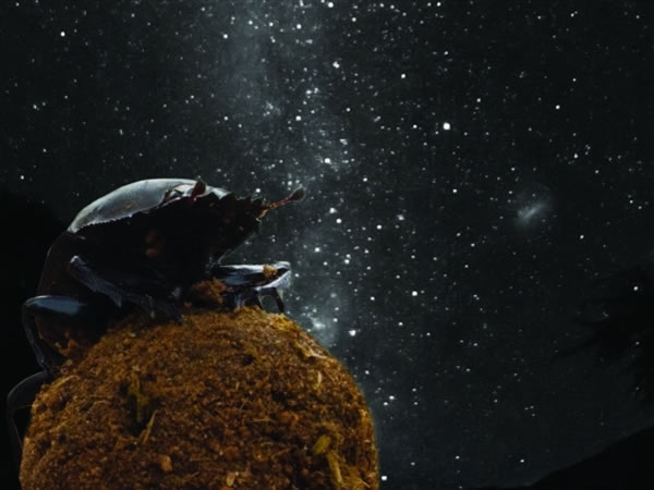 蜣螂使用天体线索沿一直线滚动粪球