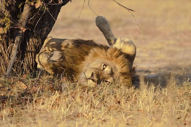 斯韦尔斯曾拍摄明星狮塞西尔,并把照片放在facebook作为封面照。