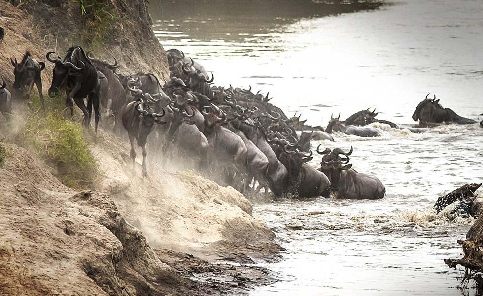 一群尚未察觉到危险的角马正在登岸