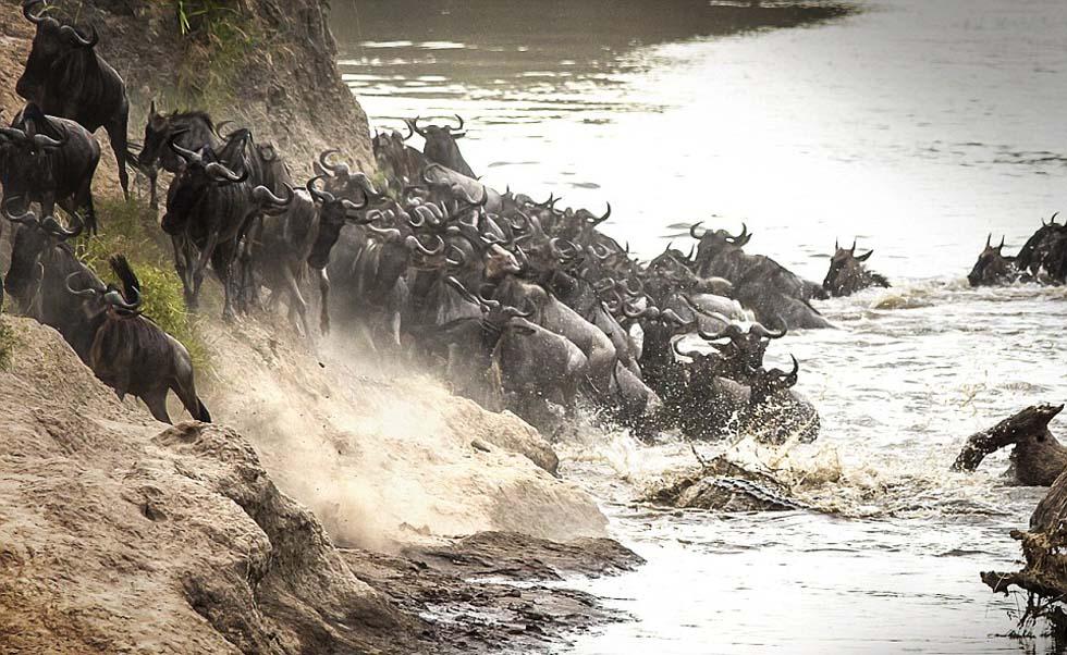 巨鳄捕杀成功后,河面又恢复了平静,像什么都没发生过一样。