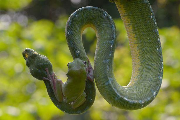 """摄影师Fahmi Bhs在印尼雅加达动物园捕捉到树蛙""""与蛇共舞""""的惊险画面"""
