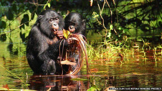 生活在野外的倭黑猩猩